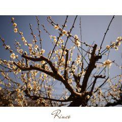 flower japan nature sky spring