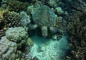 turtle greatbarrierreef australia
