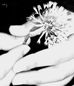 black & white dandelion flower nature photography
